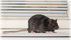 Ailing House Pest Management-California-Rat-Mice-Rodent-Control-Exterminator-Carmel-Carmel Valley-Pacific Grove-Monterey