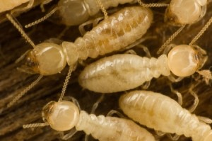 Termite Pest Control Service Inspection Carmel CA - Ailing House Pest Management
