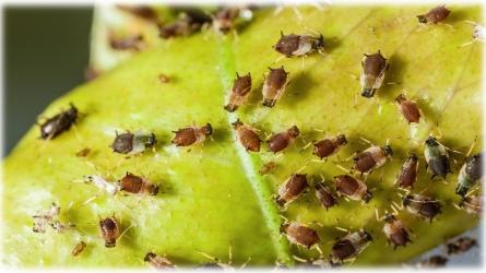 Aphid Pest Control Carmel Ca – Ailing HOuse Pest Management Inc