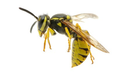 Wasp Control Carmel CA – Ailing House Pest Management Inc